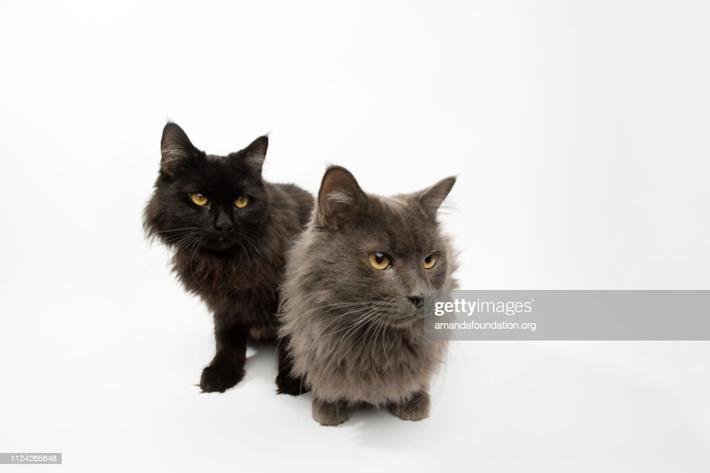 Rescue Animals - portrait of Domestic Longhair cat siblings : Stock Photo