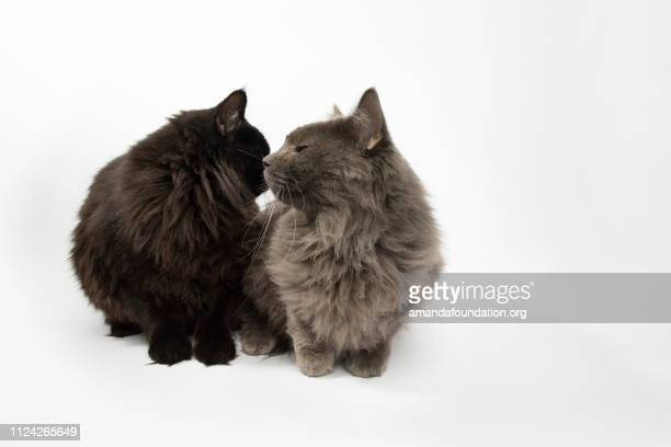 Rescue Animals - portrait of Domestic Longhair cat siblings