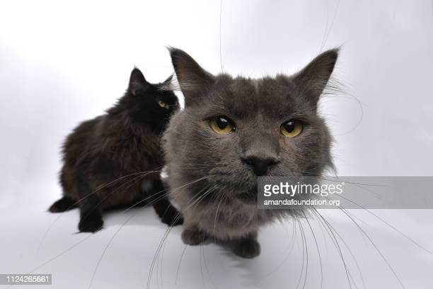 rescue animals - portrait of domestic longhair cat siblings - amandafoundationcollection stock pictures, royalty-free photos & images