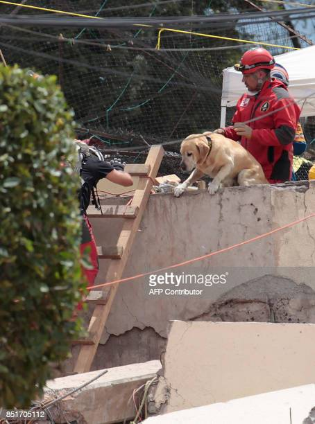Rescue dog Frida helps search for survivors in Mexico City on September 22 three days after the powerful quake that hit central Mexico A powerful 71...