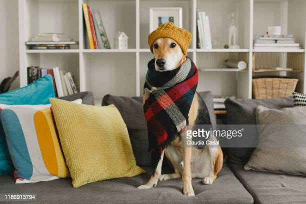 rescue dog sitting on the sofa wearing a scarf and a beanie - cushion stock pictures, royalty-free photos & images