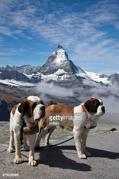 Rescue dogs, Matterhorn, Swiss Alps, Switzerland