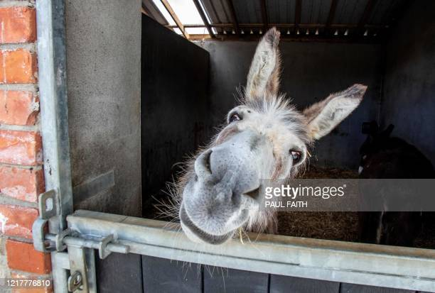 Rescue donkey peers out from the stables at the Donegal Donkey Sanctuary in Castledooey Co Donegal, Ireland on June 5 as the novel coronavirus...