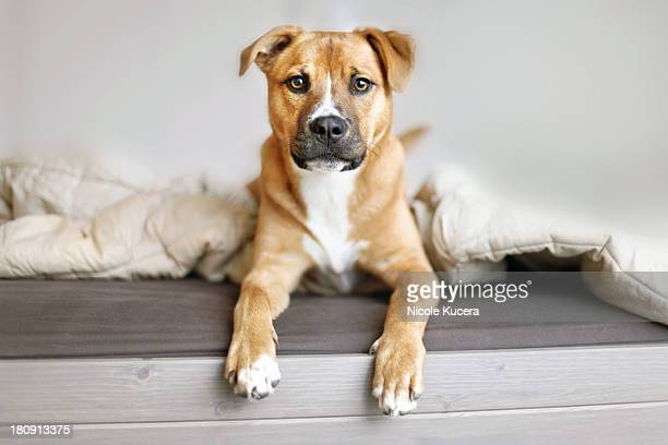 Rescue mutt puppy sitting on bed looking at camera