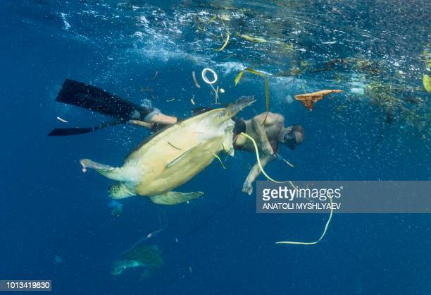 rescue of injured turtle from pollution - coral triangle. - plastic stockfoto's en -beelden