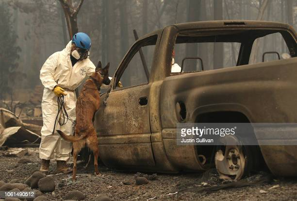 A rescue worker uses a cadaver dog to search for human remains at a mobile home park that was destroyed by the Camp Fire on November 14 2018 in...