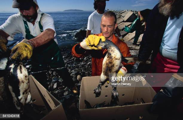 Rescue Workers Catch Oiled Penguins
