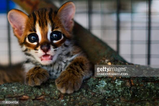 A rescued baby Asian leopard cat is seen at a natural resources conservation agency in Banda Aceh on November 5 2019