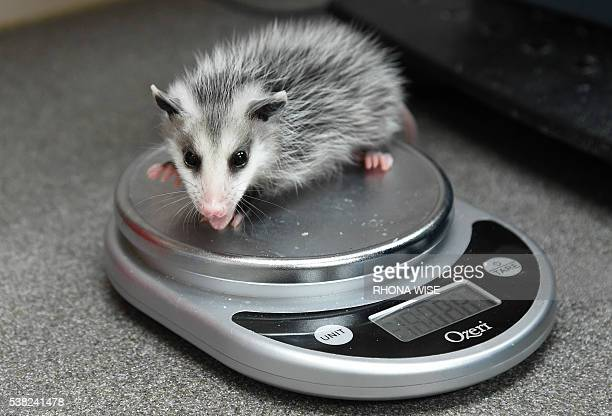 Rescued baby opossum is weighed at the Pelican Harbor Seabird Station in Miami, Florida, May 20 2016. A non-profit wildlife rehabilitation facility...