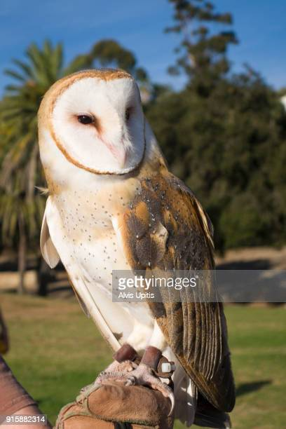 Rescued Barn Owl on gloved hand for display in park in Santa Barbara, California
