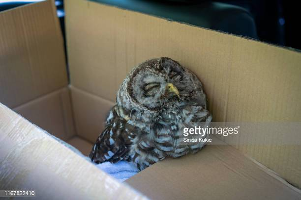 rescued barred owl - animal rescue stock pictures, royalty-free photos & images