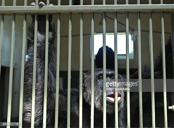 A rescued chimpanzee sits in its cage as he waits to be let out by his caretakers at the OlPejeta conservancy in Laikipia county on July 1 2014 at a...
