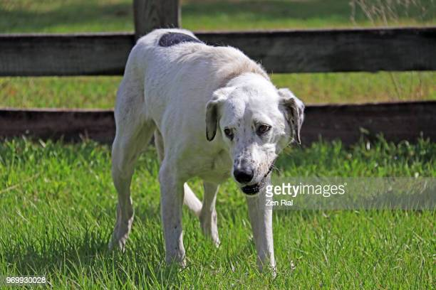 a rescued dog looking timid and afraid waiting for adoption in a no-kill animal shelter in florida - zen rial stock photos and pictures