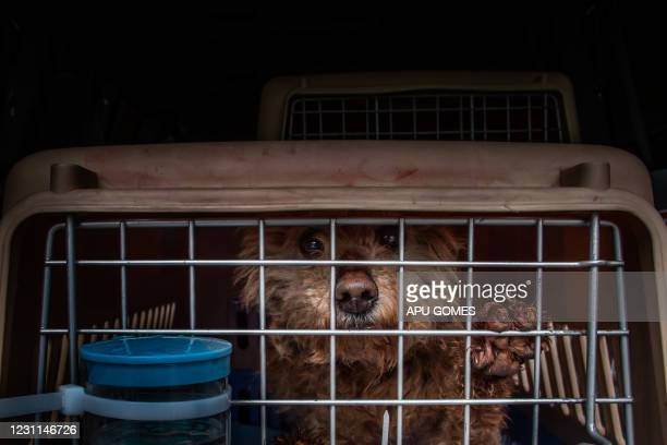 Rescued dogs wait to be fed after they arrived at Los Angeles International Airport on February 13, 2021. - The dogs were rescued from the Yulin Dog...