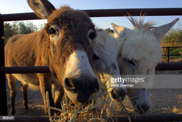 Rescued donkeys nibble on their dinner in the compound of the animal welfare charity Safe Haven for Donkeys in the Holy Land or...