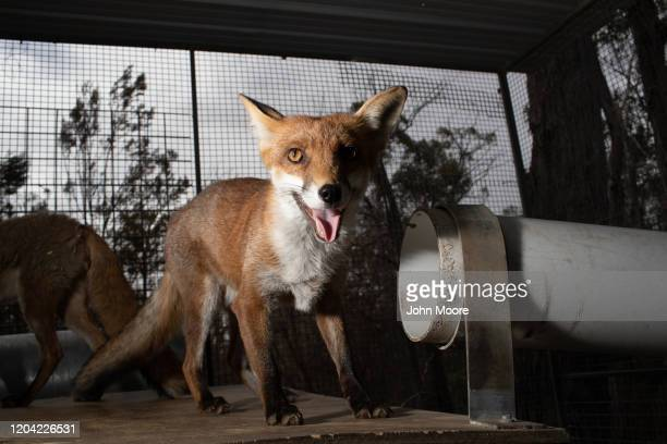 A rescued fox stands in a recovery center for foxes and dingos on February 2 2020 near Bungendore Australia Networks of wildlife rescuers and...