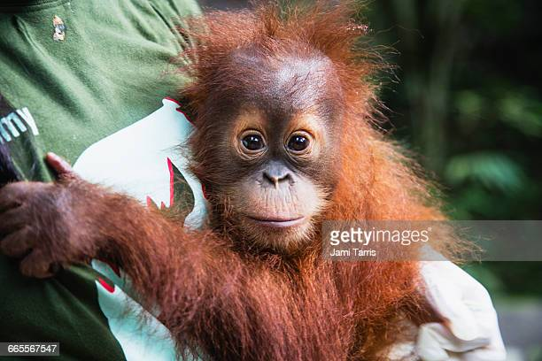 A rescued infant orangutan being cared for