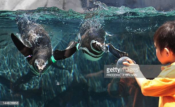 Rescued Magellanic Penguins from South America swim in their enclosure at the new June Keys Penguin Habitat at the Aquarium of the Pacific in Long...