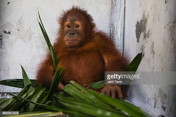 Rescued orangutan in Sumatran Care Center
