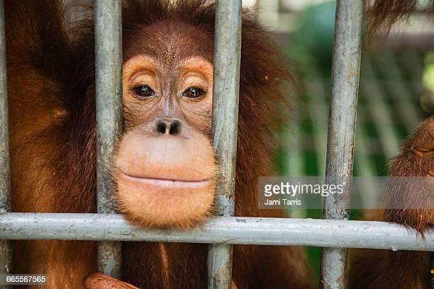 rescued orangutan in sumatran care center. - animales en cautiverio fotografías e imágenes de stock