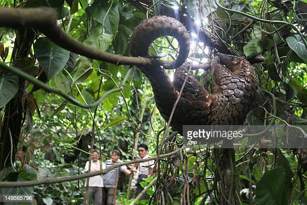 A rescued pangolin is released in the forest by government wildlife and conservation officers in Karo district located in North Sumatra province on...