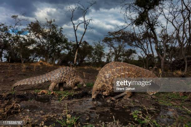 Rescued pangolins at a farm in Harare Zimbabwe where caretakers help them find ants and termites to eat and keep them safe from predators and...
