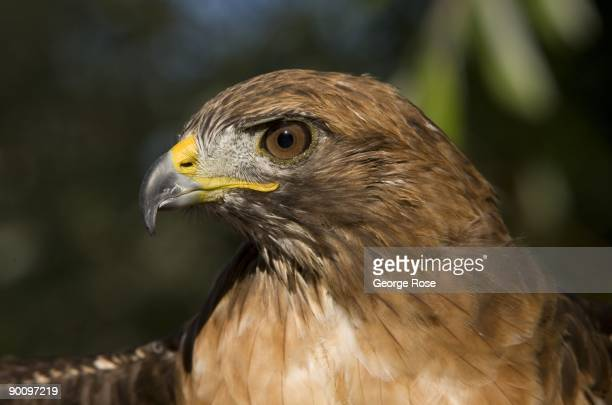 A rescued red tail hawk is seen in a side profile closeup in this 2009 Healdsburg California morning summer photo