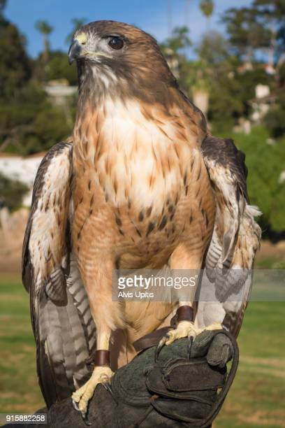 Rescued red tailed hawk perches on gloved hand in Santa Barbara, California