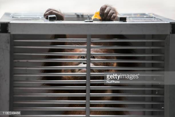 Rescued two-years old male Borneo orangutan, which attempted to smuggle out of Indonesia, tries to climb from his cage in Denpasar, Bali, Indonesia...