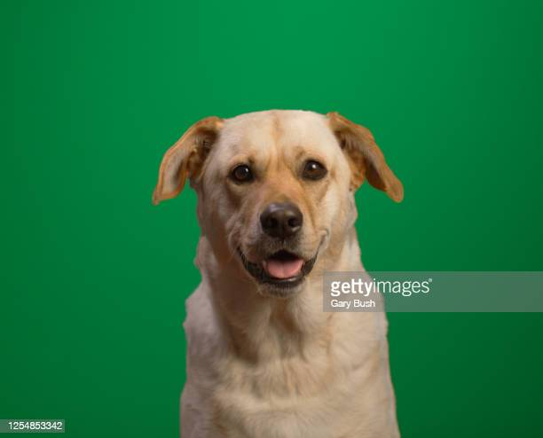 rescued yellow labrador against green screen looking into camera - calabasas stock pictures, royalty-free photos & images