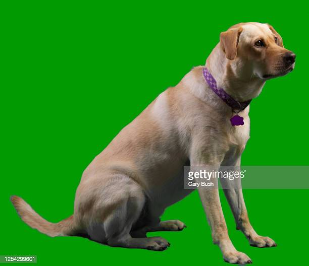 rescued yellow labrador retriever sitting (full shot green screen) - calabasas stock pictures, royalty-free photos & images