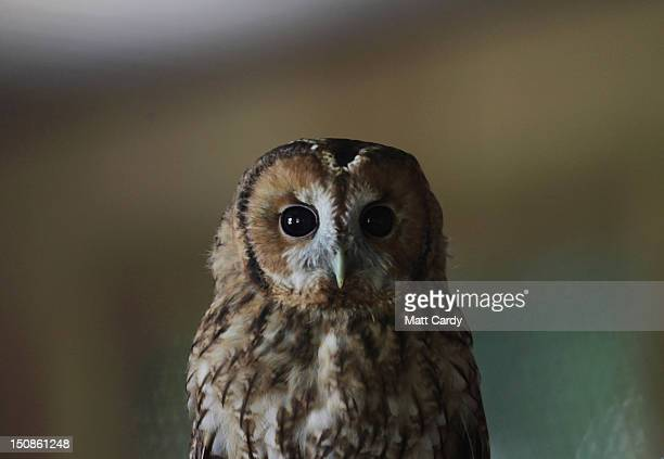 A rescued young tawny owl perches on a branch as it waits to be released back into the wild at the RSPCA West Hatch Wildlife Centre on August 28 2012...