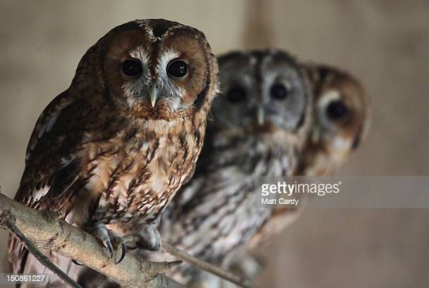 Rescued young tawny owls perch on a branch as they wait to be released back into the wild at the RSPCA West Hatch Wildlife Centre on August 28 2012...