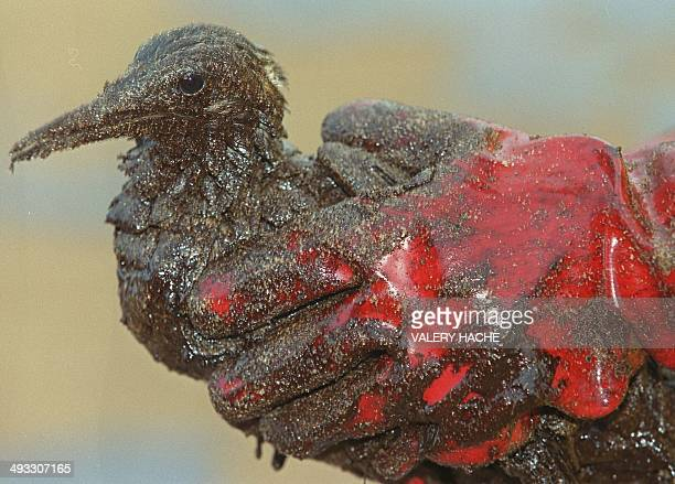 A rescuer holds an oilcovered Guillemot bird in his hands after he picked it up on the Donnant beach in Belle Ile en Mer Western France 25 December...