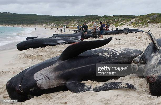 Rescuers gather information from dead long fin pilot whales at Hamelin Bay on March 23 2009 58 Volunteers joined rescue workers struggling to save...