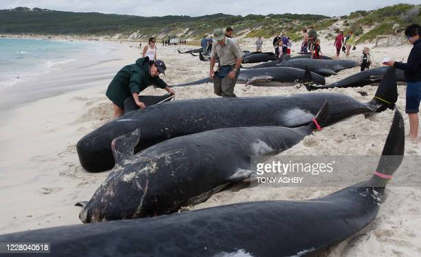 Rescuers gather information from dead long fin pilot whales at Hamelin Bay on March 23, 2009. 58 Volunteers joined rescue workers struggling to save...