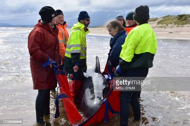 Rescuers work to save a whale on a beach in Macquarie Harbour on the rugged west coast of Tasmania on September 25 as Australian rescuers were forced...