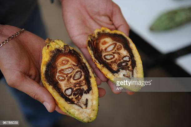 A researcher a diseased cacao pod at the greenhouse of the Tropical Agriculture Research and Education Center in Turrialba about 40 km southeast of...
