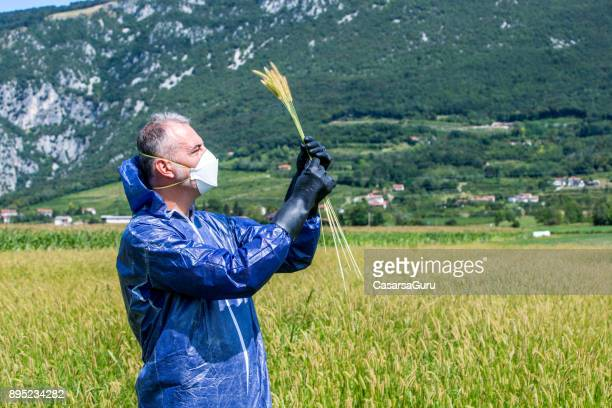 Researcher Checking Grass Stems for Environmental Damage