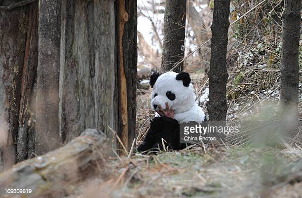A researcher dressed as panda rests in a training base at the Hetaoping China Conservation and Research Center for the Giant Panda on February 20...