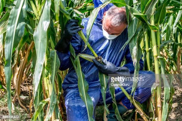 Researcher Examining Rotten Corn Stem