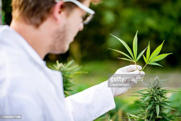 researcher holding two cannabis leaves - medical cannabis stock pictures, royalty-free photos & images