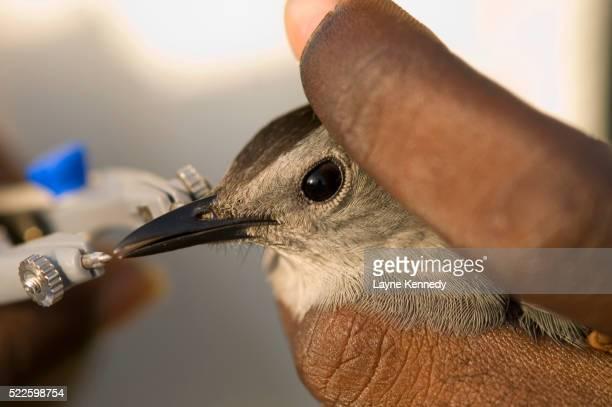 researcher measuring beak of gray catbird - gray catbird stock pictures, royalty-free photos & images