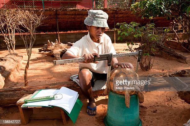 Researcher measuring Plowshare Tortoise Madagascar