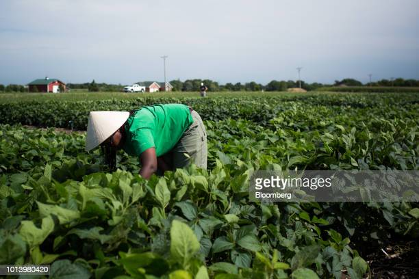 A researcher observes growth patterns of soybean plants at the Bay Farm Research Facility in Columbia Missouri US on Thursday July 19 2018...