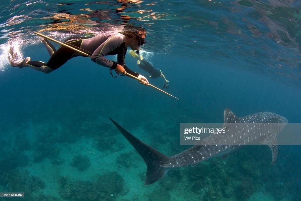 Whale shark (Rhincodon typus) biopsy : News Photo