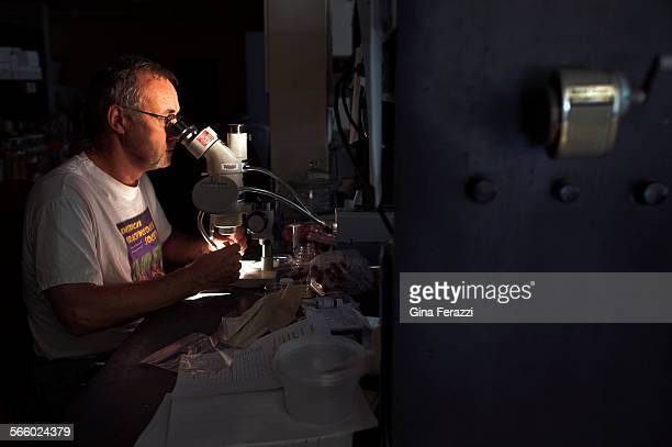 Researcher Rick Vetter looks under the microscope at brown widow eggs in his lab at University of California Riverside He has been conducting a brown...