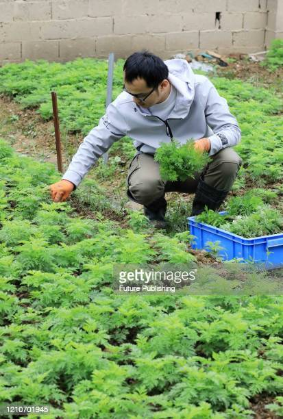 AN CHINA APRIL 22 2020 A researcher samples Artemisia annua seedlings in the National Germplasm Resource Bank of Artemisia annua Rong'an County...