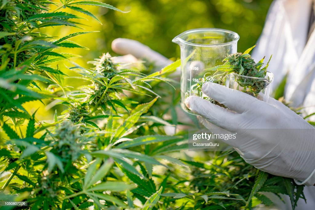 Researcher Taking a Few Cannabis Buds for Scientific Experiment : Stock Photo
