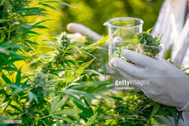 researcher taking a few cannabis buds for scientific experiment - marijuana stock photos and pictures